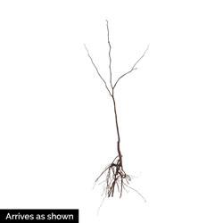 Redbud Flowering Tree Starter Pack