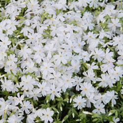 White Carpet Phlox