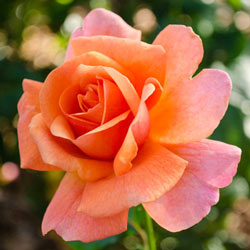 Easy Does It ™ Floribunda Rose