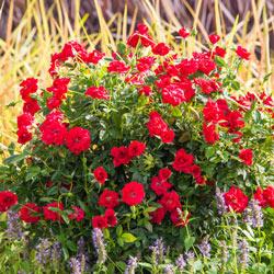 Ruby Ruby™ Miniature Rose