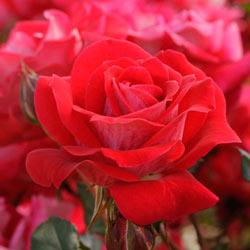 Take It Easy® Patio Tree Rose