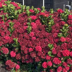 Everlasting® Crimson Hydrangea