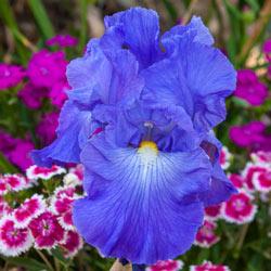 Victoria Falls Reblooming German Iris