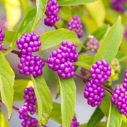 Early Amethyst Beautyberry
