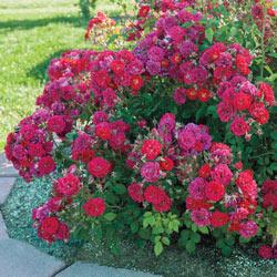 Children's Hope® Shrub Rose