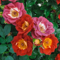 Hot & Sassy™ Rose