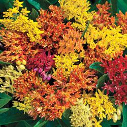 Native Butterfly Plant Mix