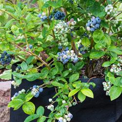KA-Bluey Blueberry