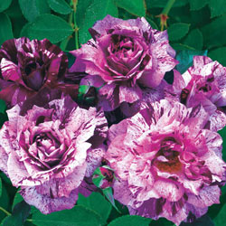 Purple Tiger Floribunda Rose