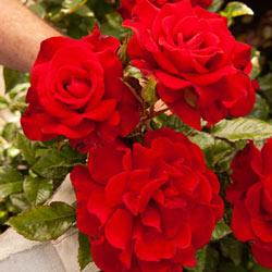 Drop Dead Red Floribunda Rose