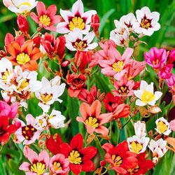 Harlequin Flower Mix