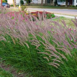 Rose Fountain Grass