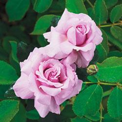 Memorial Day Tree Rose
