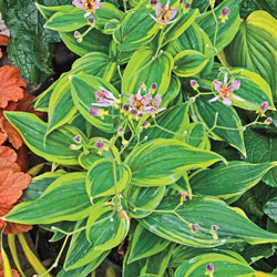 Autumn Glow Toad Lily