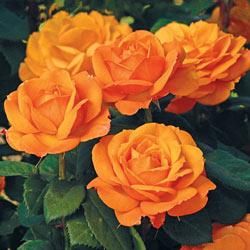 Good As Gold Hybrid Tea Rose