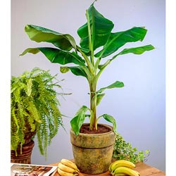 Dwarf Banana Tree Plant