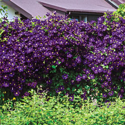 Purple Wall Of Flowers Clematis