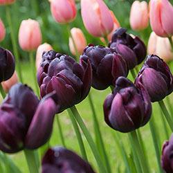 Black Hero Tulip