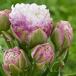 Peggy Wonder Tulip