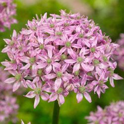 Pink Jewel Allium
