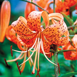 Sun Perennials Orange Tiger Lily From Michigan Bulb