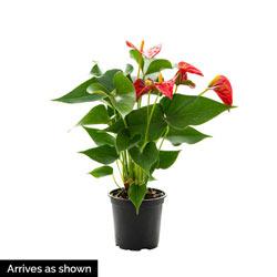 Dutch Red Anthurium