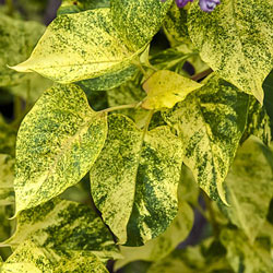 Lavender Variegated French Hybrid Lilac