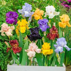Reblooming German Iris Mix