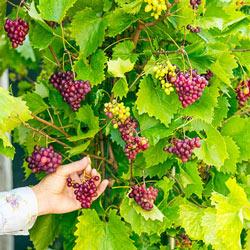 Razzmatazz® Grape