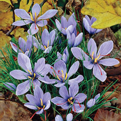 Saffron Fall Crocus Grow Your Own Spice Michigan Bulb
