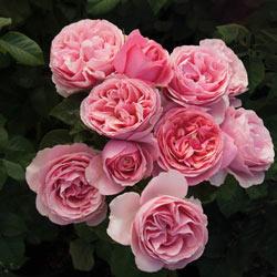 All Dressed Up™ Grandiflora Rose
