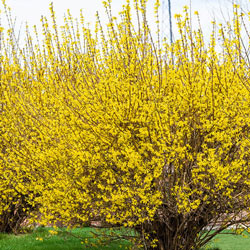 Lynwood Gold Forsythia Hedge