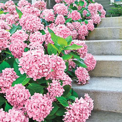 Forever Pink Hydrangea