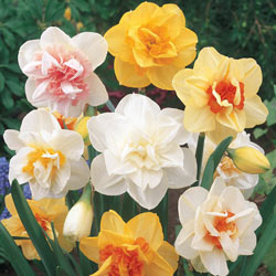 Double Daffodil Mix