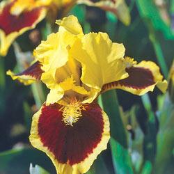 Ultimate Miniature Bearded Iris