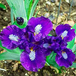 Trajectory Miniature Bearded Iris