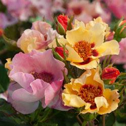 In Your Eyes® Shrub Rose