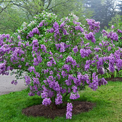 Lilac Sunday Lilac