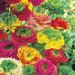 Reinette Ranunculus Mix