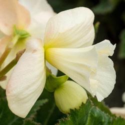 Daffodil White Begonia