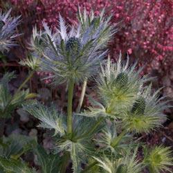 Blue Sea Holly Plant