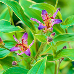 Samurai Variegated Toad Lily