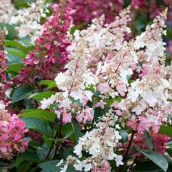 Candelabra Hydrangea Hedge