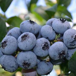Blueberry Blueray