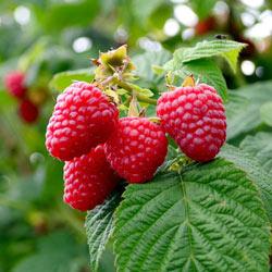 Crimson Night Raspberry