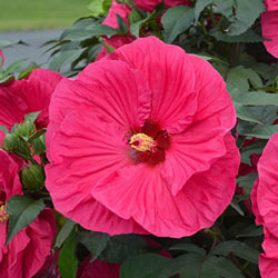 Hibiscus Summer In Paradise