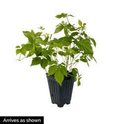 Immortality Herb (Jiaogulan)