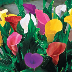 Mixed Calla Lilies