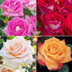 Our Choice Jumbo Hybrid Tea Rose