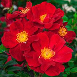 Our Choice Jumbo Shrub Rose